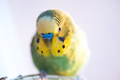 Green budgerigar parrot close up sits on cage Stock Image