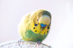 Green budgerigar parrot close up sits on cage Royalty Free Stock Image
