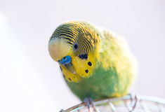Green budgerigar parrot close up sits on cage Stock Photos