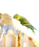 Green Budgerigar sitting on cage Royalty Free Stock Image