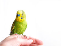 Green Budgerigar sitting on cage Stock Image