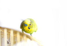 Green Budgerigar sitting on cage Royalty Free Stock Photos