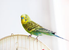 Green Budgerigar sitting on cage Royalty Free Stock Images