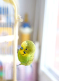 Green Budgerigar sitting on cage Stock Photo