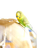 Green Budgerigar sitting on cage Royalty Free Stock Photography
