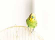 Green Budgerigar sitting on cage Stock Photos