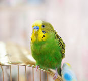 Green Budgerigar after swimming Royalty Free Stock Image