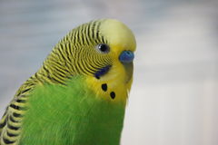 Green Budgie Royalty Free Stock Photo