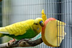 Green budgie eating apple Melopsittacus undulatus Royalty Free Stock Image