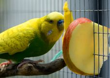 Green budgie eating apple Stock Images