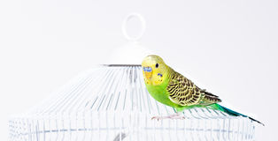 Green budgie sitting on his cage Stock Images