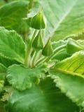 Green buds Stock Photos