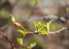 Green buds on branches in spring forest. Green buds on tree branches in spring forest stock images