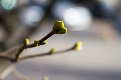 Green buds on branches in spring. Nature and blooming in spring time stock images