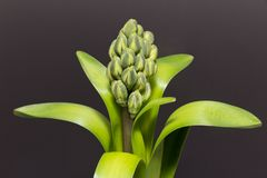 green buds of flower of hyacinth on dark  background Stock Images