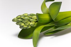 green buds of flower of hyacinth on white background Stock Image