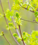 Green buds of a maple Royalty Free Stock Photography