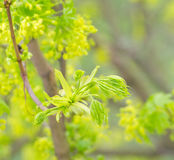 Green buds of a maple Stock Photo