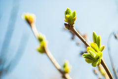 Green buds Royalty Free Stock Image