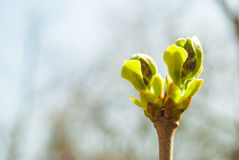 Green buds Stock Image