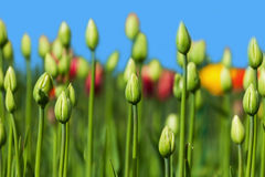 Green buds of tulips Royalty Free Stock Photography