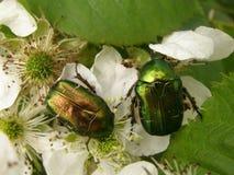 Green bug Stock Image