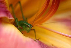 Green bug. Macro photo of a green bug inside of a pink/orange lilly Stock Photography