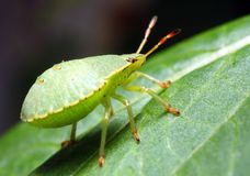 Green bug. On a green leaf - extremely close up Royalty Free Stock Photo