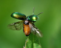 Green bug. Green beetle Chrysopolina herbacea that raises its wings in the green Royalty Free Stock Photography