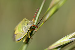 Green Bug on a Blade Royalty Free Stock Photo