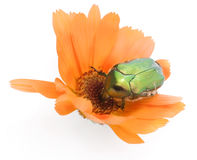 Green bug on a calendula flower Royalty Free Stock Images