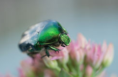 Green bug, Cetonia aurata Stock Photography