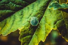 Green bug close up royalty free stock image