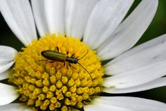 Green bug on a daisy flower royalty free stock photos