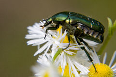 Green bug on  daisywheel Stock Photography