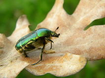 Green bug on a dry leaf Stock Images