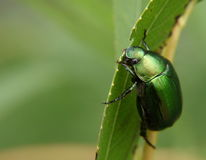 Green bug eating leaf Royalty Free Stock Photo