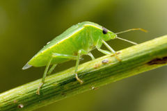 Green Bug on Fennel Twig Royalty Free Stock Image