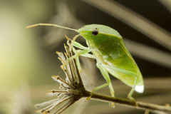 Green Bug on Fennel Twig Royalty Free Stock Photos