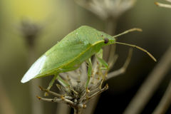 Green Bug on Fennel Twig Stock Photos