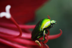 Green bug on flower Stock Photography