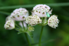 Green bug on a flower. A cute green bug climbing on a white flower Stock Photography