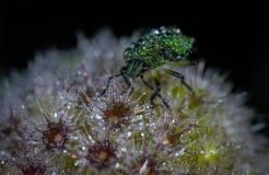 Green Bug on Flower Macro Photography Stock Photo