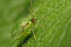 Green bug on green sheet. Macro Stock Photos