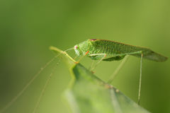 Green Bug. Insects (from Latin insectum, a calque of Greek ἔντομον [éntomon], cut into sections) are a class of invertebrates within the arthropod Stock Photography