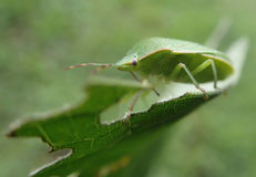 Green bug on a leaf Stock Photography