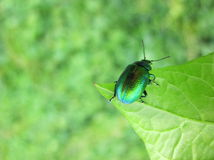 Green bug on leaf Royalty Free Stock Photography