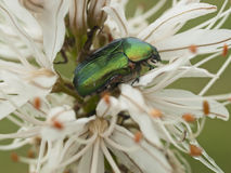 Green bug and lilly flower Stock Photos