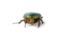 Green bug Royalty Free Stock Images