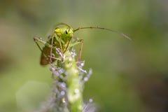 Green bug macro photography. Green bug with dew drops macro photography. Nymph green capsid bug Royalty Free Stock Photography